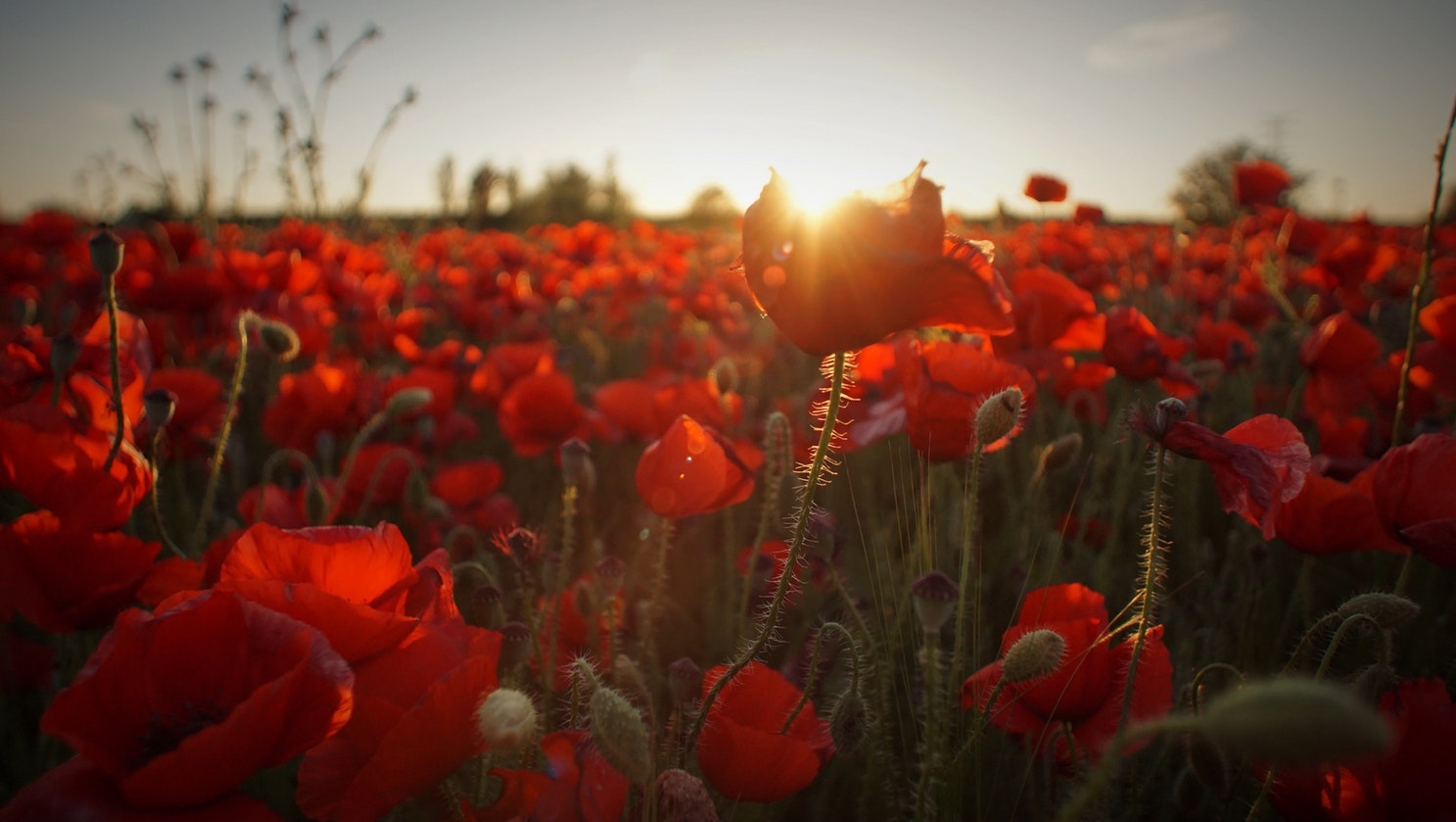 A Red Poppy Field - for those that coloured the earth with their blood.